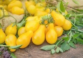 Томат медовая капля: преимущества и недостатки сорта, его описание и характеристика, фото урожая и отзывы огородников