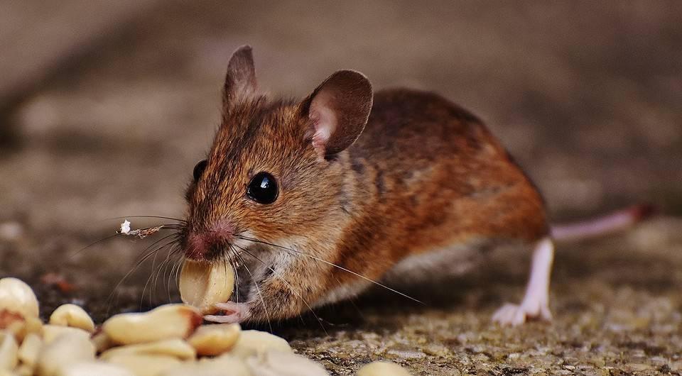 Как бороться мышами на даче и дачном участке: методы, зашита на зиму, что самое эффективное?
