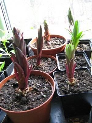Выращивание лилии в качестве комнатного цветка: посадка и уход