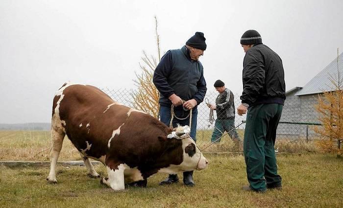 Методы разведения и выращивания быков на мясо