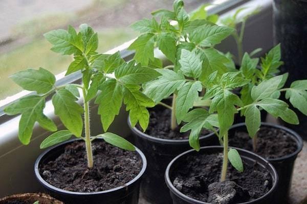 Подкормка помидоров в теплице золой: как правильно подкормить томаты удобрением? пропорции и рецепты приготовления раствора, внекорневая и другие подкормки