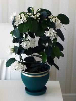 Комнатный жасмин в домашних условиях: уход и фото цветка, обрезка и размножение, почему не цветет жасмин