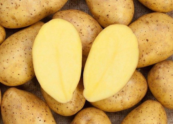 Картофель зекура — описание сорта, фото, отзывы, посадка и уход