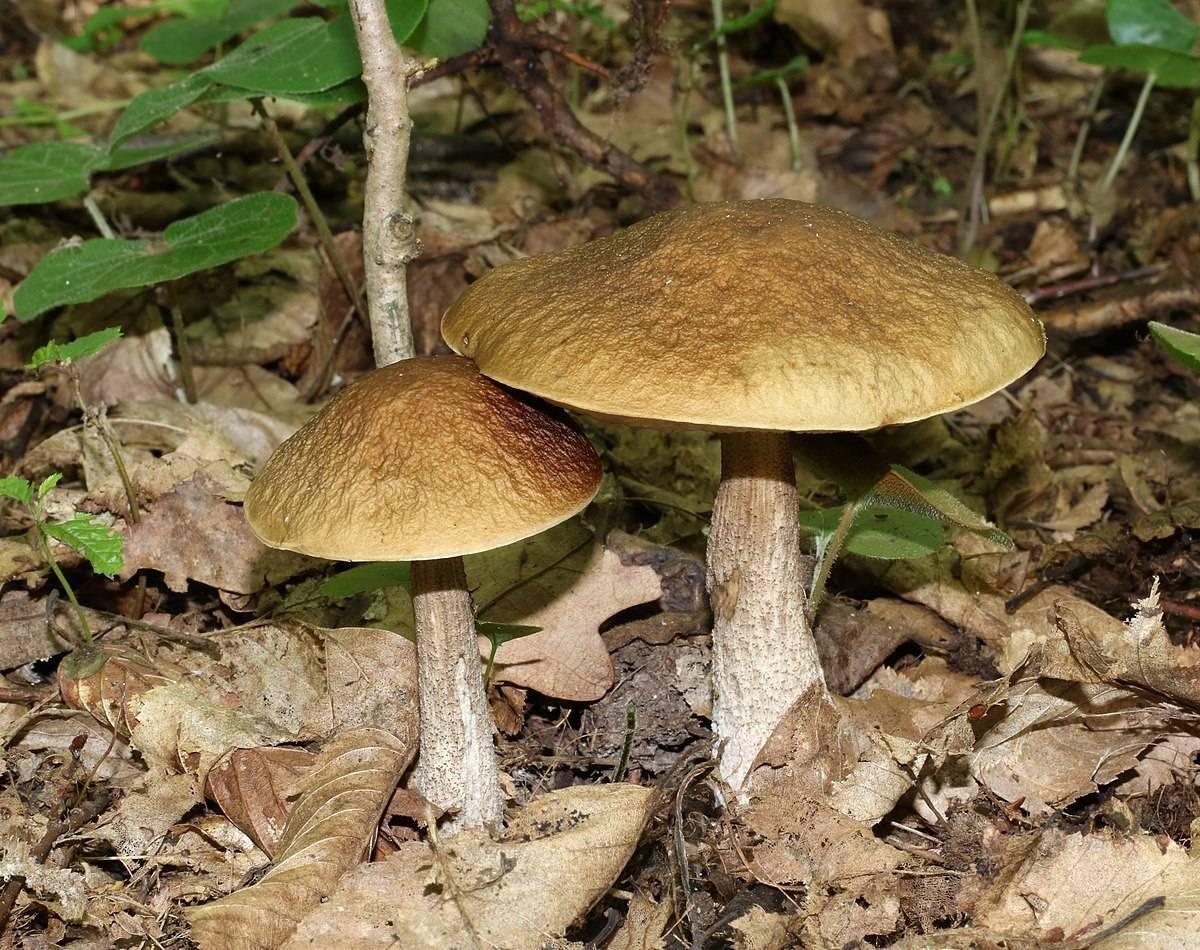Перечный гриб: описание, отличия, приготовление   food and health