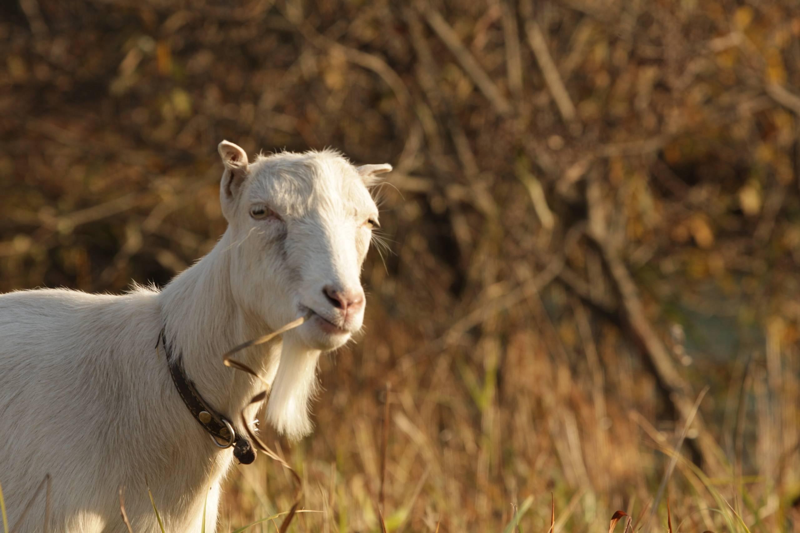 Порода коз Ламанча