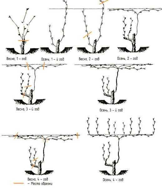 Сорта винограда для подмосковья с описанием и фото, советы по уходу