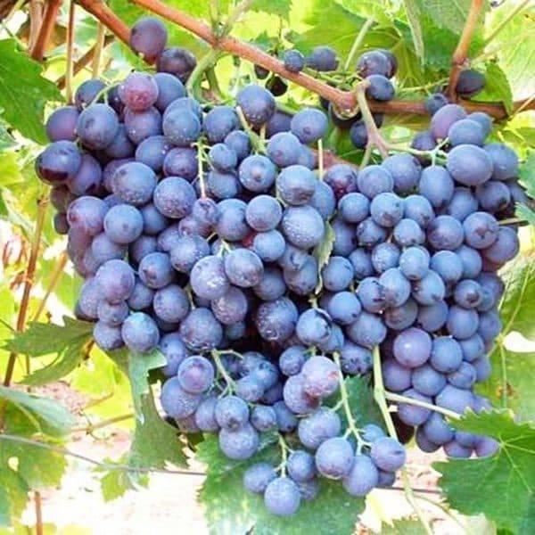 Виноград мускат белый: описание сорта, фото