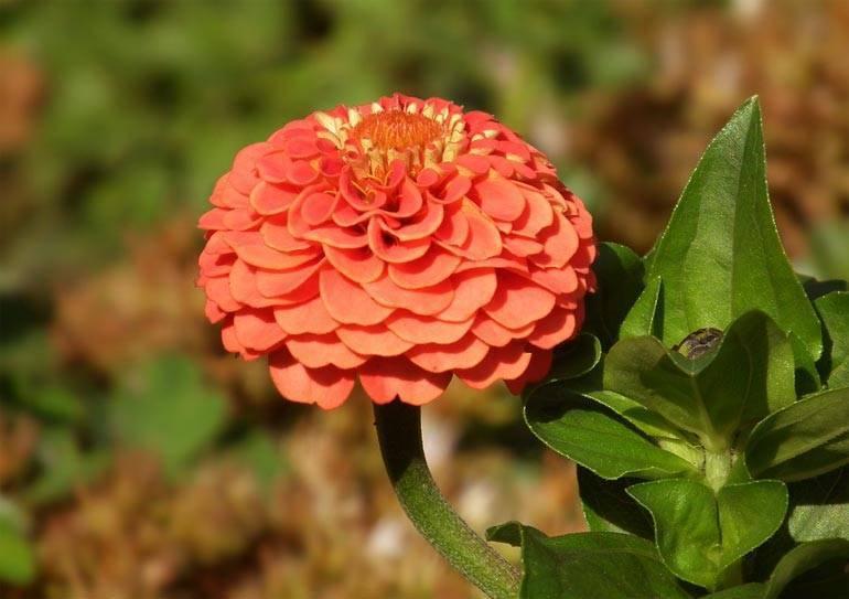 Циния: выращивание из семян, посадка и уход в открытом грунте