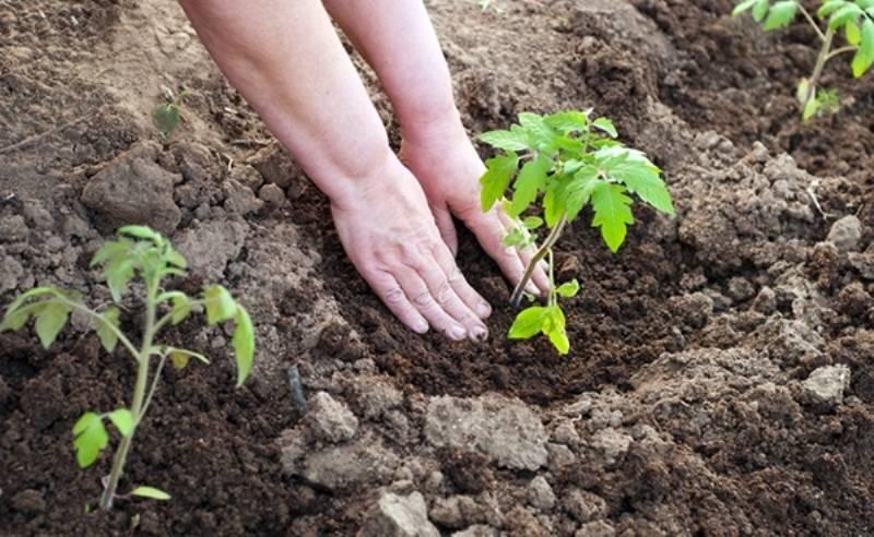 Выбор удобрения при посадке помидоров