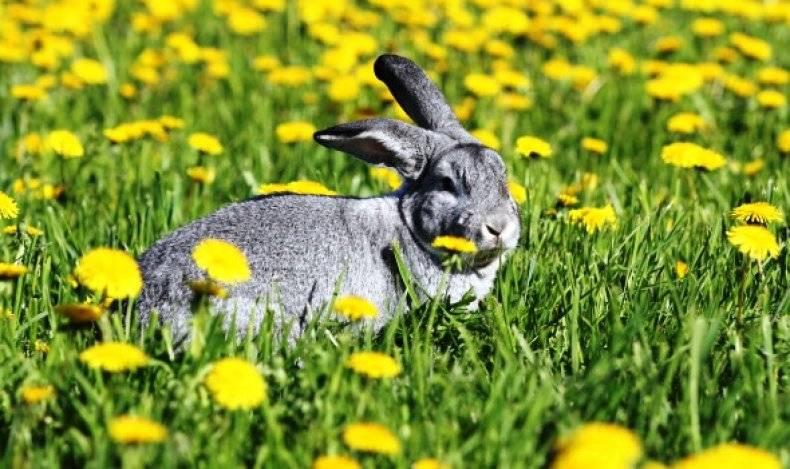 Кормление кроликов одуванчиками. правила кормления