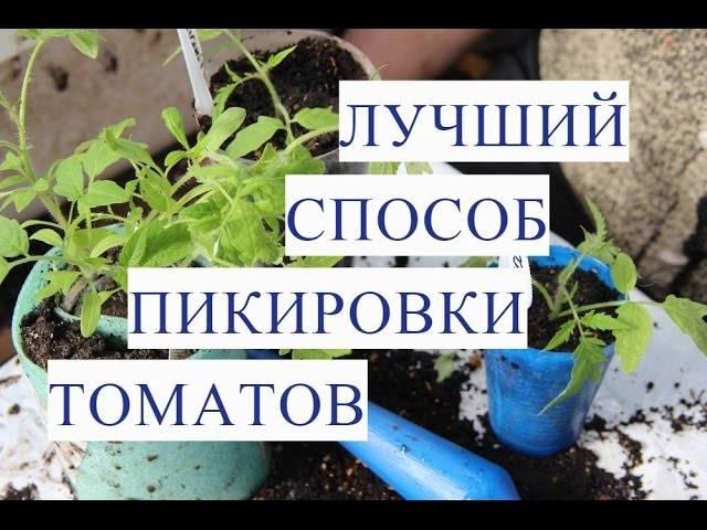 Как пикировать помидоры: фото, видео, сроки, пошаговая инструкция