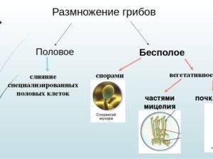 Царство грибы: общая характеристика, строение и размножение