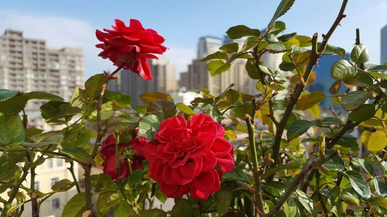 Как обработать розы железным купоросом осенью