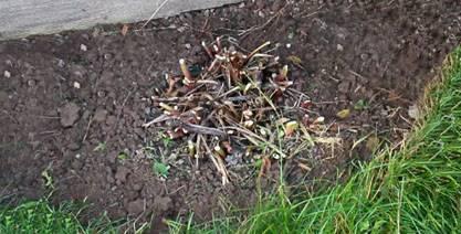Нужно ли обрезать пионы после цветения и когда обрезать пионы на зиму видео
