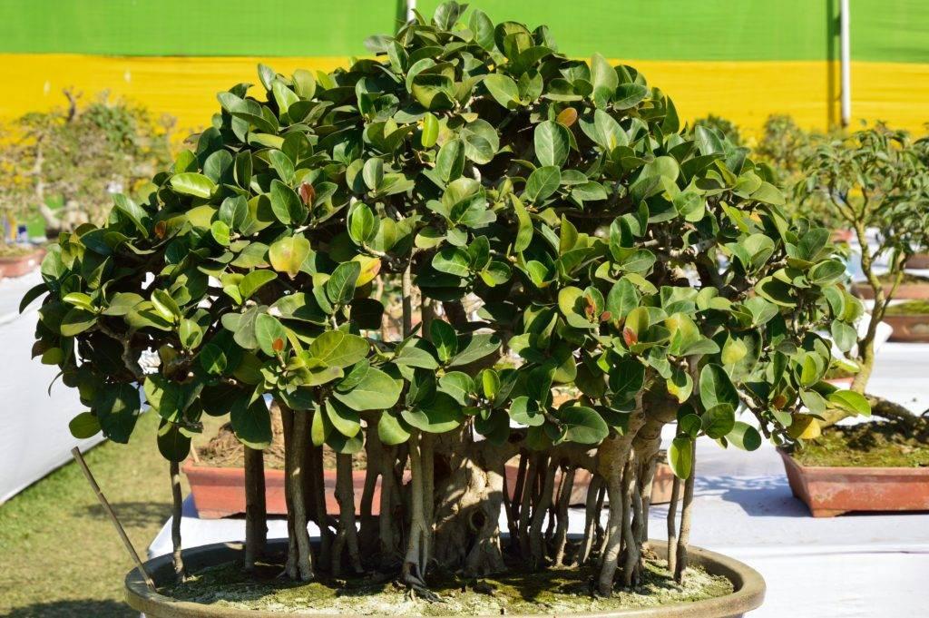 Выращиваем бенгальский фикус у себя дома