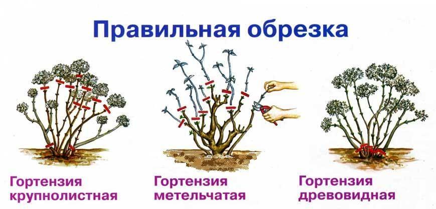 Укрытие гортензии на зиму: этапы проведения работ, перечень обязательных мероприятий и выбор материала