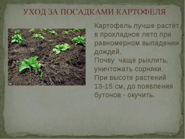 Через сколько дней всходит картофель после посадки - садоводству да