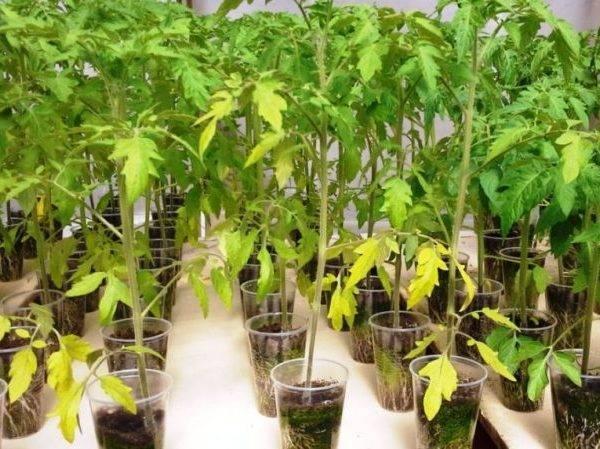 Почему у томатов желтеют нижние листья: что делать, чем подкормить рассаду