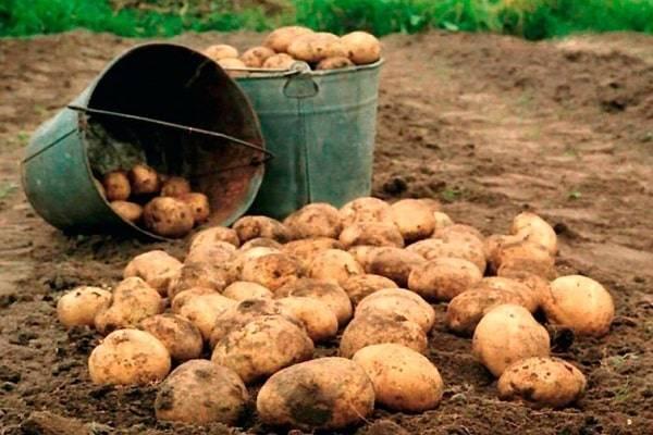 Богатый урожай картофеля с 1 га: секреты выращивания культуры