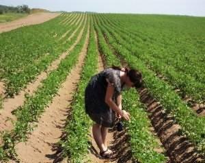 Посадка картофеля в гребни — технология