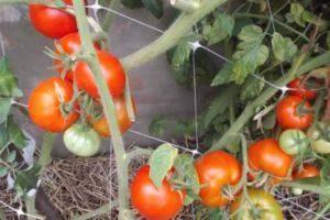 Ранний гибрид помидоров ирина: для салатов и консервации