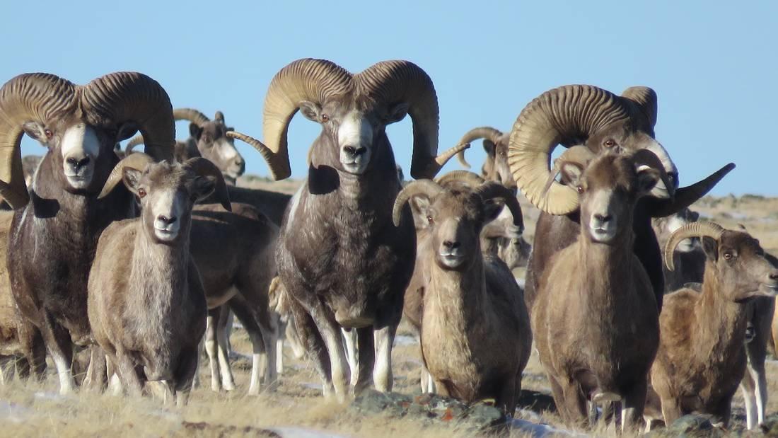 Особенности и описание алтайского горного барана