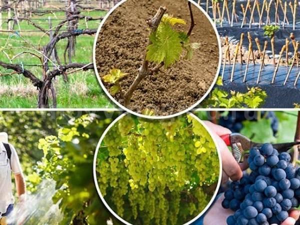Обработка винограда от болезней и вредителей - vinograd-loza