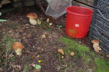 Выращивание белых грибов домашних условиях - особенности, условия и основные правила