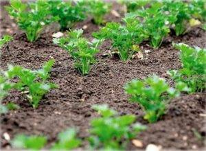 Петрушка из рассады: посев и выращивание, метод самокруток в домашних условиях, а также как выглядит, когда высаживать в открытый грунт и как это правильно делать? русский фермер