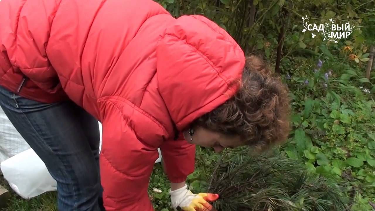Лилии осенью: уход и подготовка к зимнему укрытию, обрезка