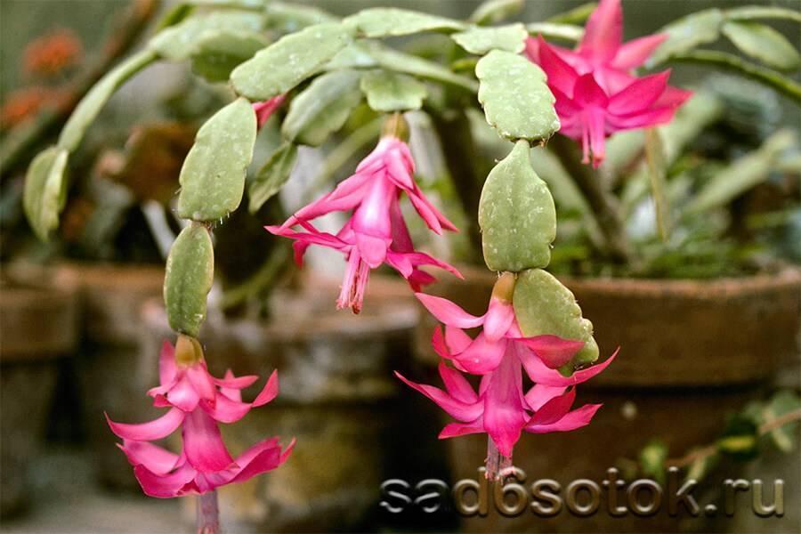 Виды цветка декабрист (41 фото): описание сортов шлюмбергеры. каких цветов бывает, кроме розового и оранжевого, синего и фиолетового?