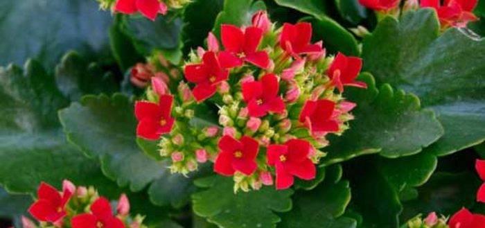 Каланхоэ цветущий: уход в домашних условиях и причины почему не цветет
