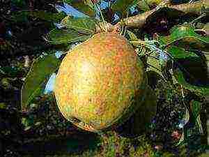 Сорта груш для сибири: фото с названием, 14 лучших для северных районов