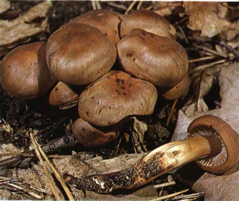 Коллибия азема - agroflora.ru