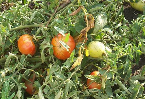 Вредители помидоров в теплице: защита томатов от болезней и насекомых, чем и как опрыскивать кусты, чтобы спасти урожай