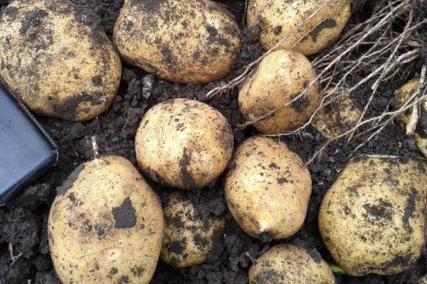 Почему не цветет картофель: причины и что делать