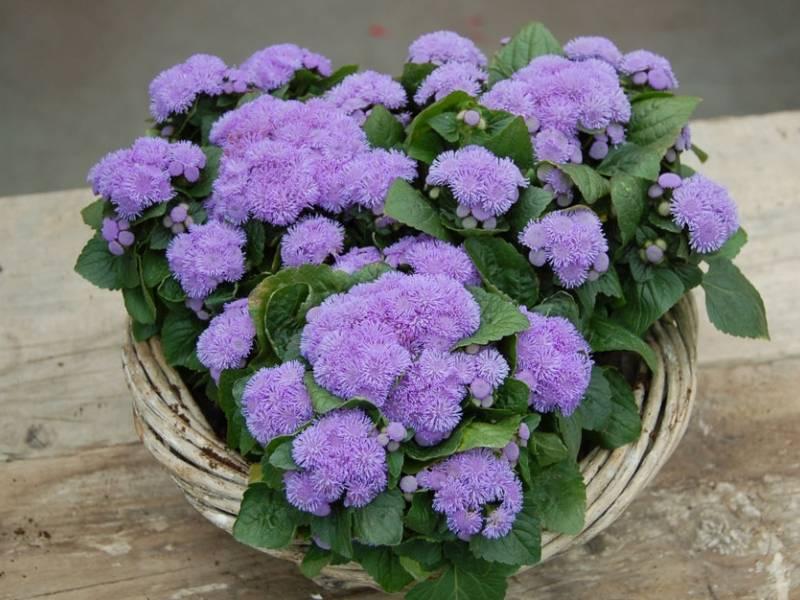 Цветы агератум: посадка и уход за растениями агератум, виды и сорта цветов агератум