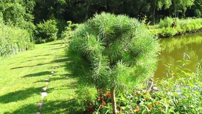 Обрезка хвойных: ель, сосна. уход, формирование кроны дерева