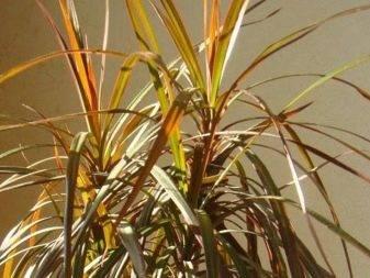 У драцены сохнут листья