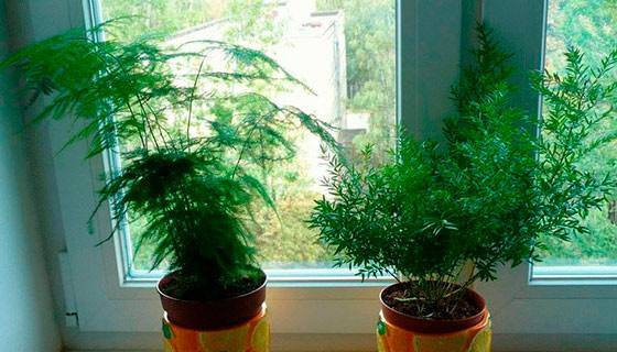 Методы ухода за комнатным аспарагусом в домашних условиях