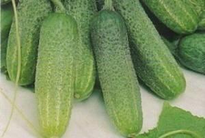 Огурцы адам: фото, отзывы тех, кто выращивал, советы по посадке и уходу, особенности гибрида f1 и описание урожая