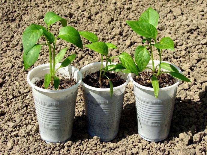 Когда и как правильно сажать перцы на рассаду в 2021: календарь посадок и подготовка семян, выращивание рассады