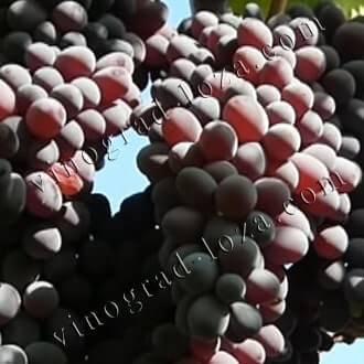 Сорт винограда юпитер: описание, фото