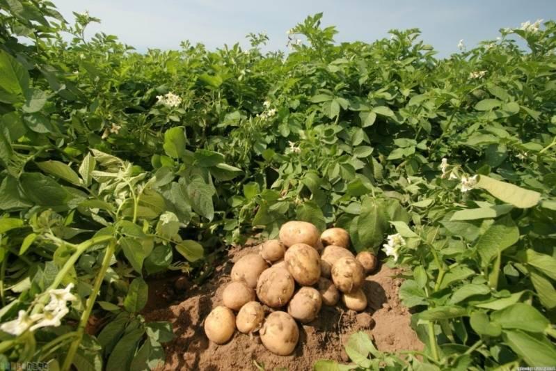 Новые способы посадки и ухода за картофелем: китайский, выращивание в коробах, ведрах, по митлайдеру, по картелеву, из ростков, под укрывным материалом и иные методы русский фермер