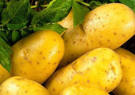 Картофель зекура – описание сорта, фото, отзывы