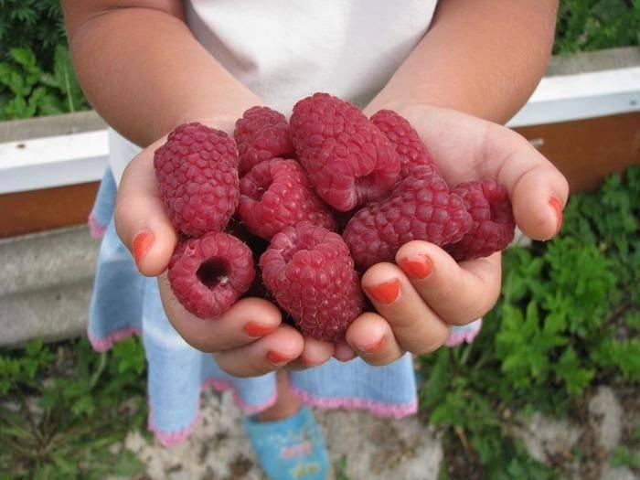 Крупная малина: описание сортов, урожайность и выращивание, фото