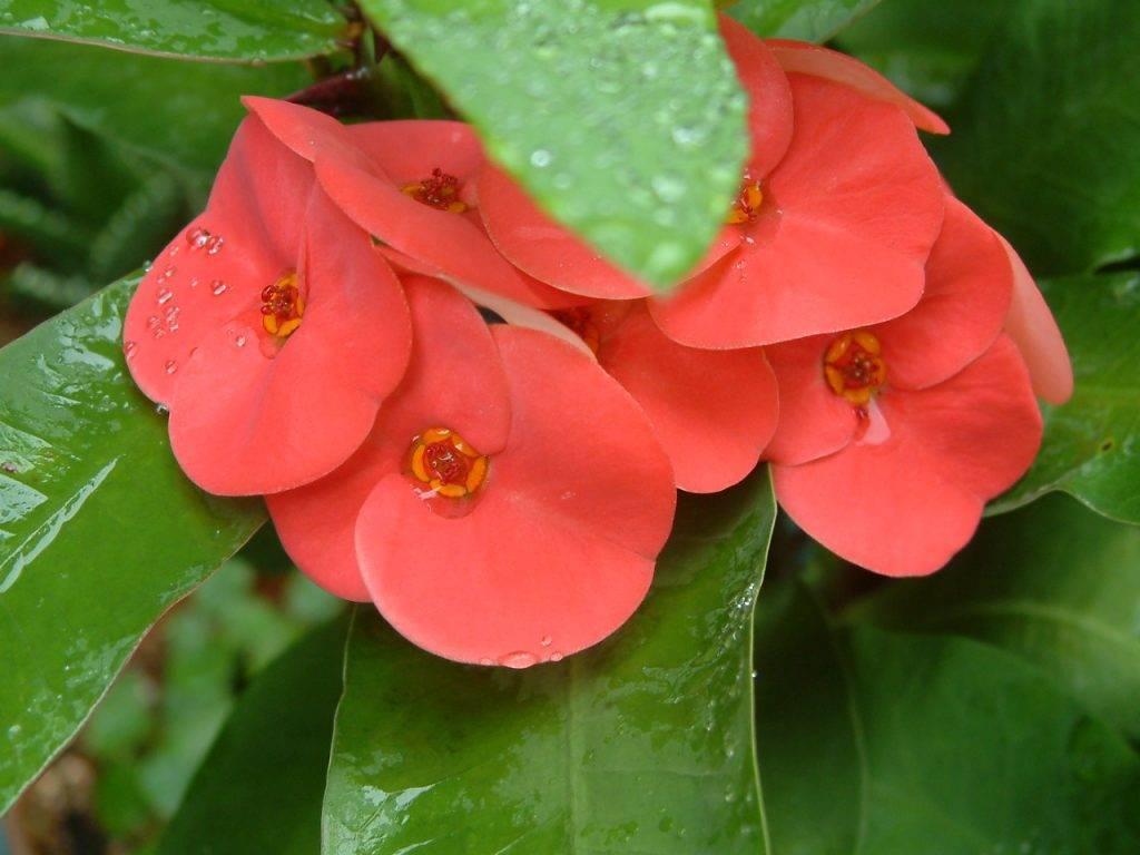 Молочай (48 фото): как выглядит комнатный цветок эуфорбия? уход за растением в домашних условиях, разновидности в форме кактуса и пальмы