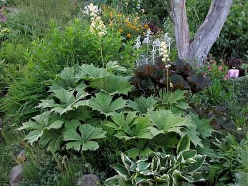 Роджерсия: выращивание для ландшафтного дизайна и описание цветка