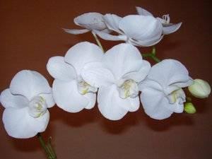 Выращивание белой орхидеи