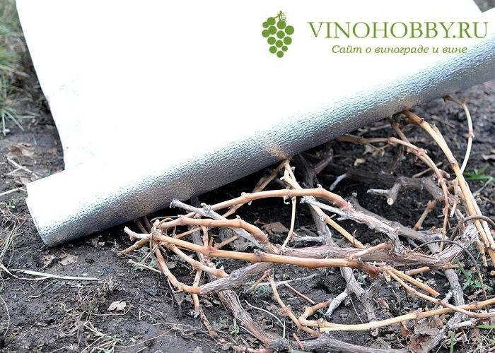 Как правильно укрывать виноград на зиму и при какой температуре